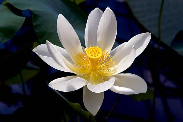 Lotus - Photo