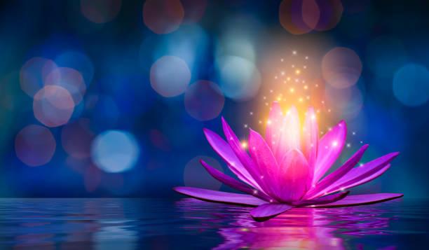 lotos różowy jasnofioletowy pływający światło blask fioletowy tło - staw woda stojąca zdjęcia i obrazy z banku zdjęć