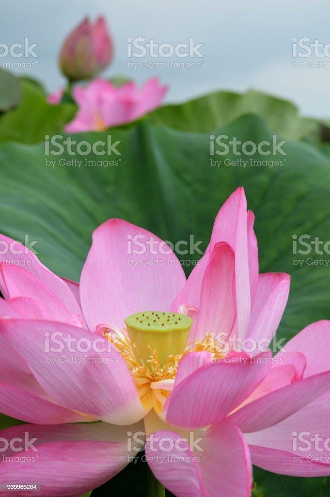 Estanque De Loto Tiene Unas Flores De Loto Rosa Pálido - Fotografía ...
