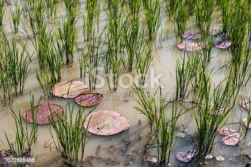 Lotus pool , lotus pond ; Lotus flower planting in rice