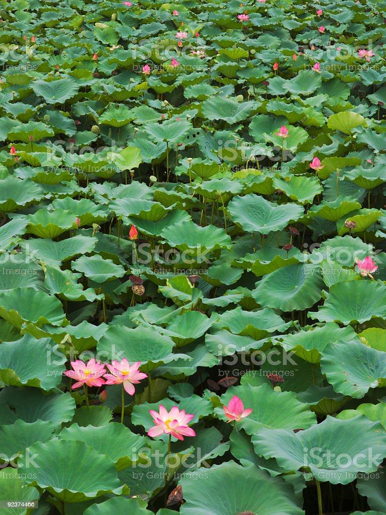 Lotus Pool royalty-free stock photo