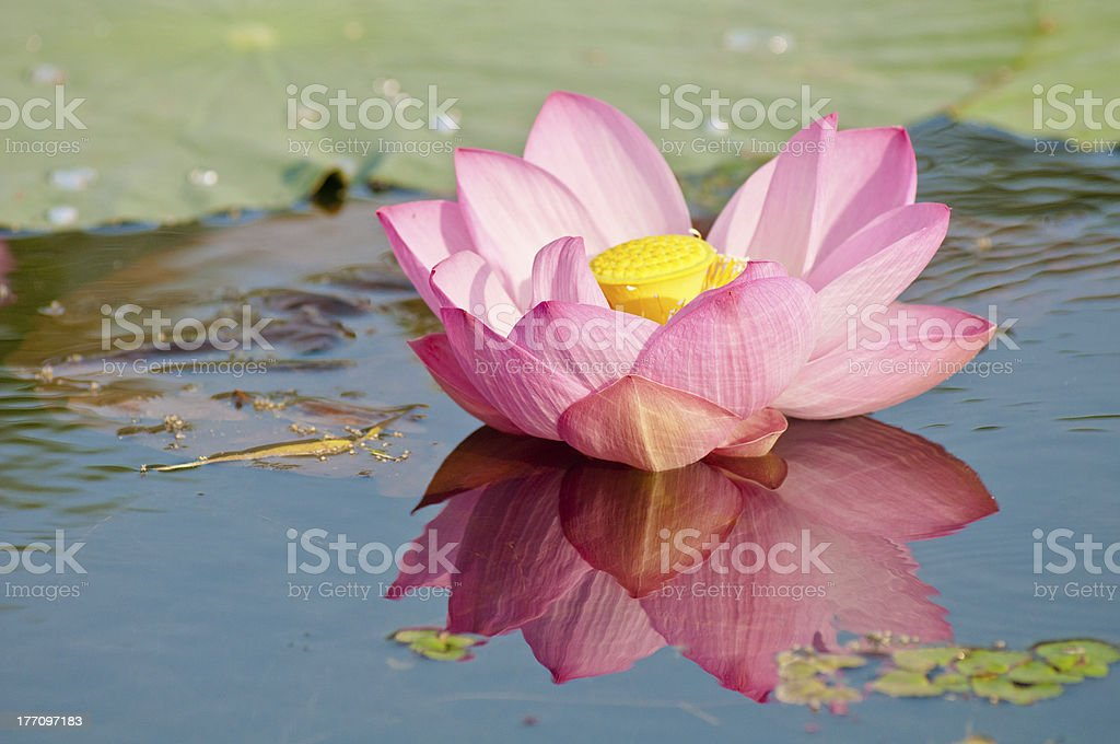 lotus relict Tertiary species flower (close up) royalty-free stock photo