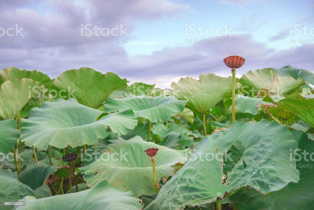Lotus root field stock photo more pictures of agriculture istock lotus root field royalty free stock photo mightylinksfo