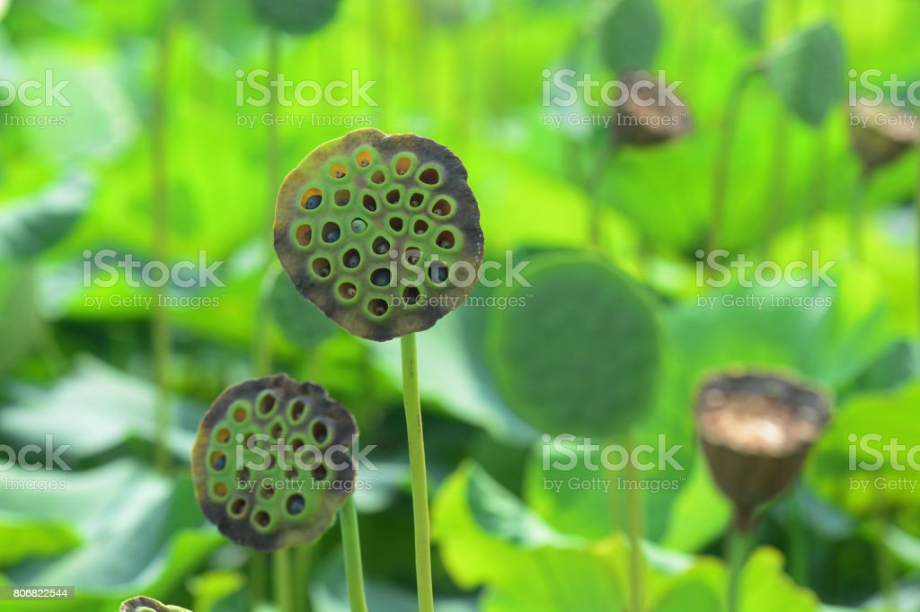 Lotus seeds stock photo