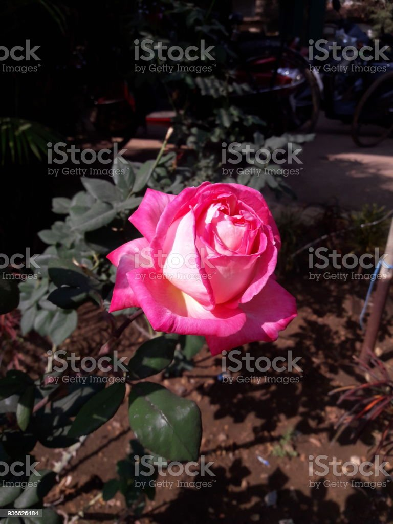 Lotus Shape Red Rose Stock Photo More Pictures Of 2015 Istock