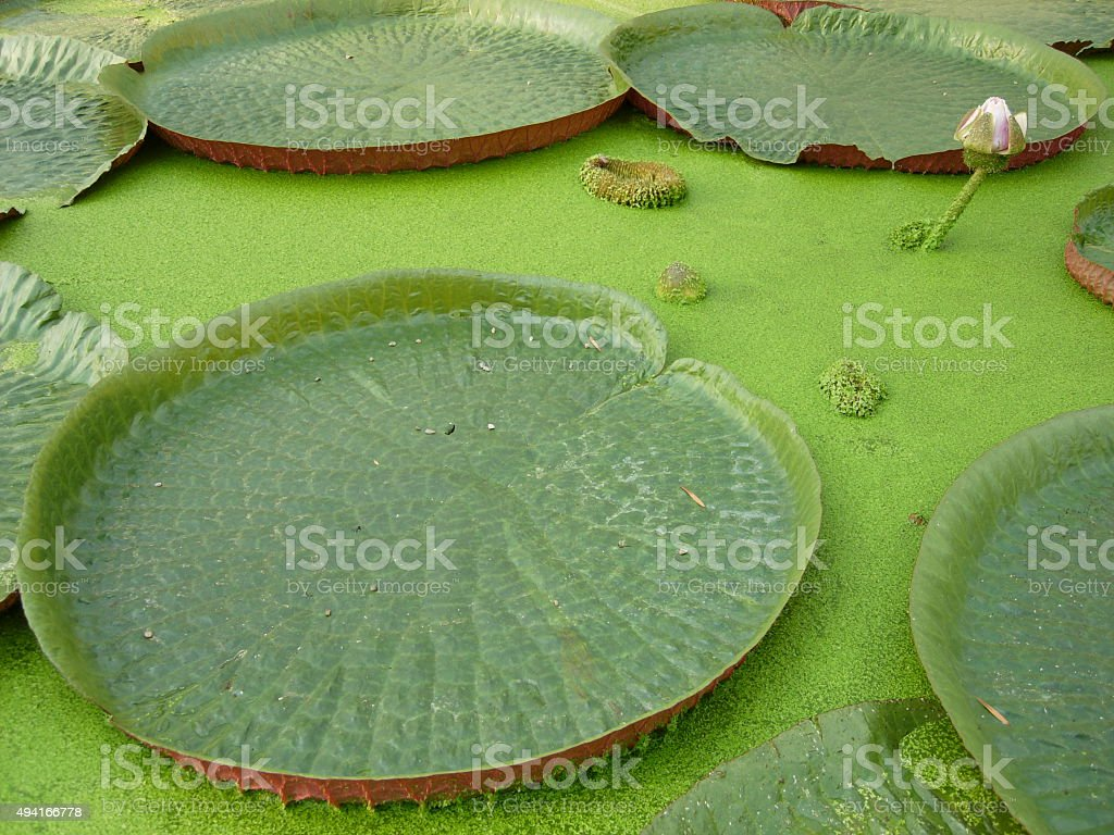 Lotus water lilly stock photo