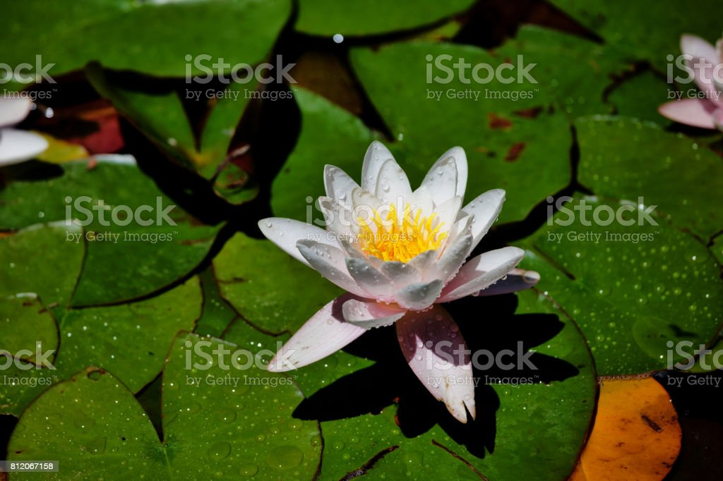Lotus Water Lily Detail stock photo
