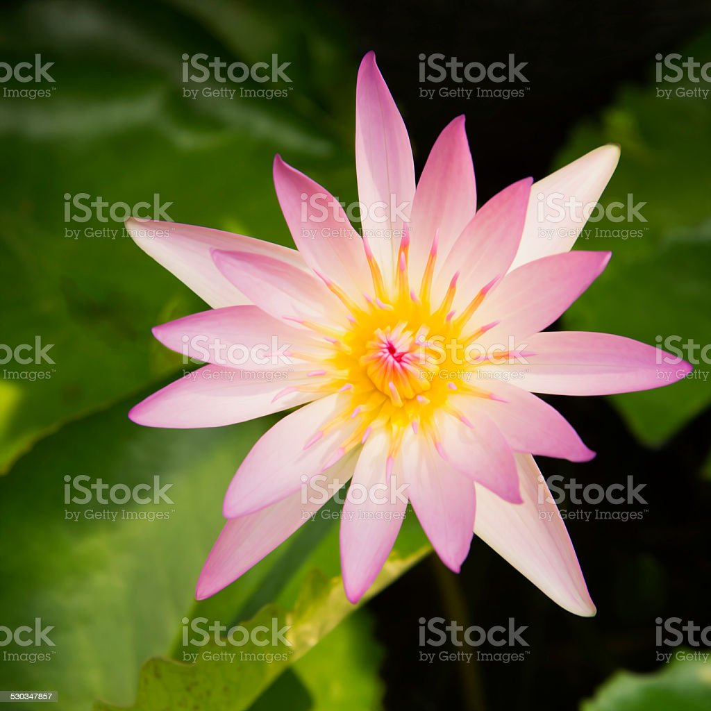 Lotus , Water lily Flower stock photo