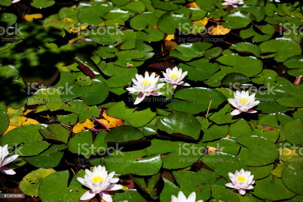 Lotus Water Lily in Pond stock photo