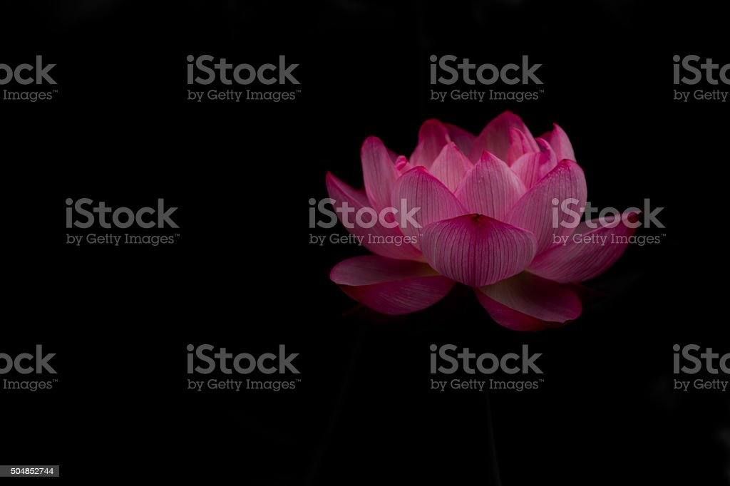 Lotus Water Lily stock photo