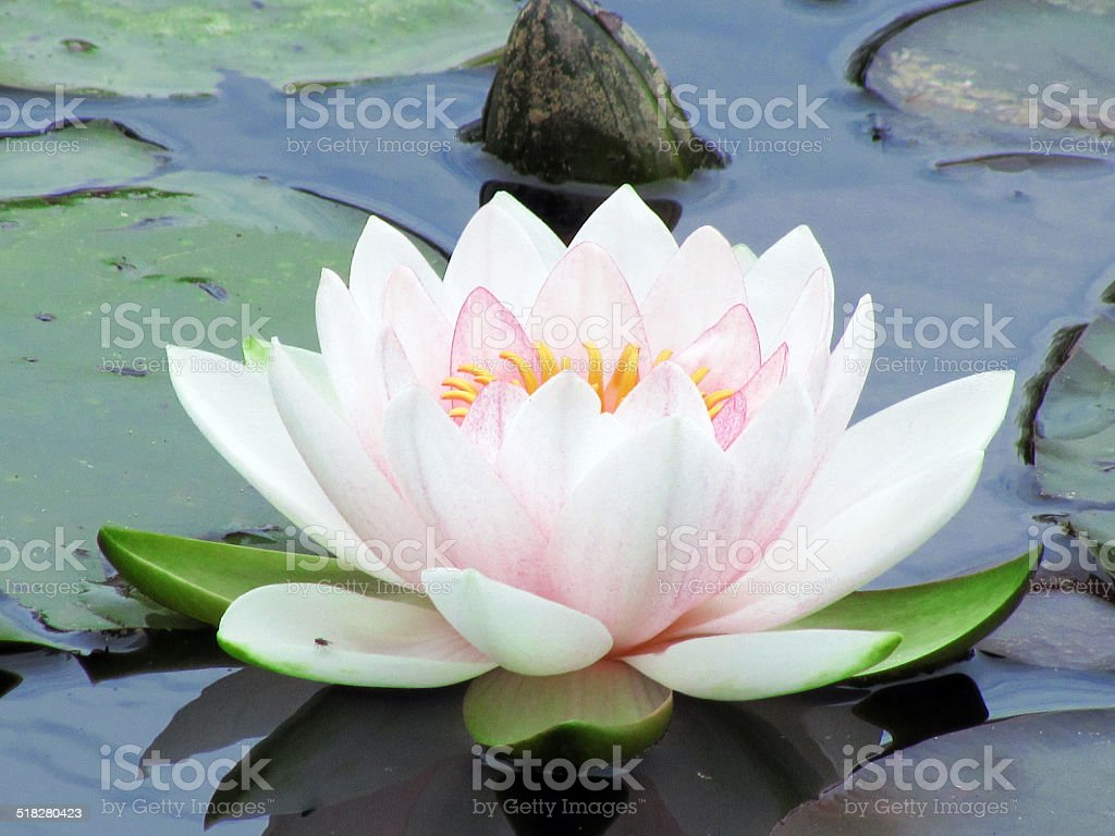 Lotus - Water Lily stock photo