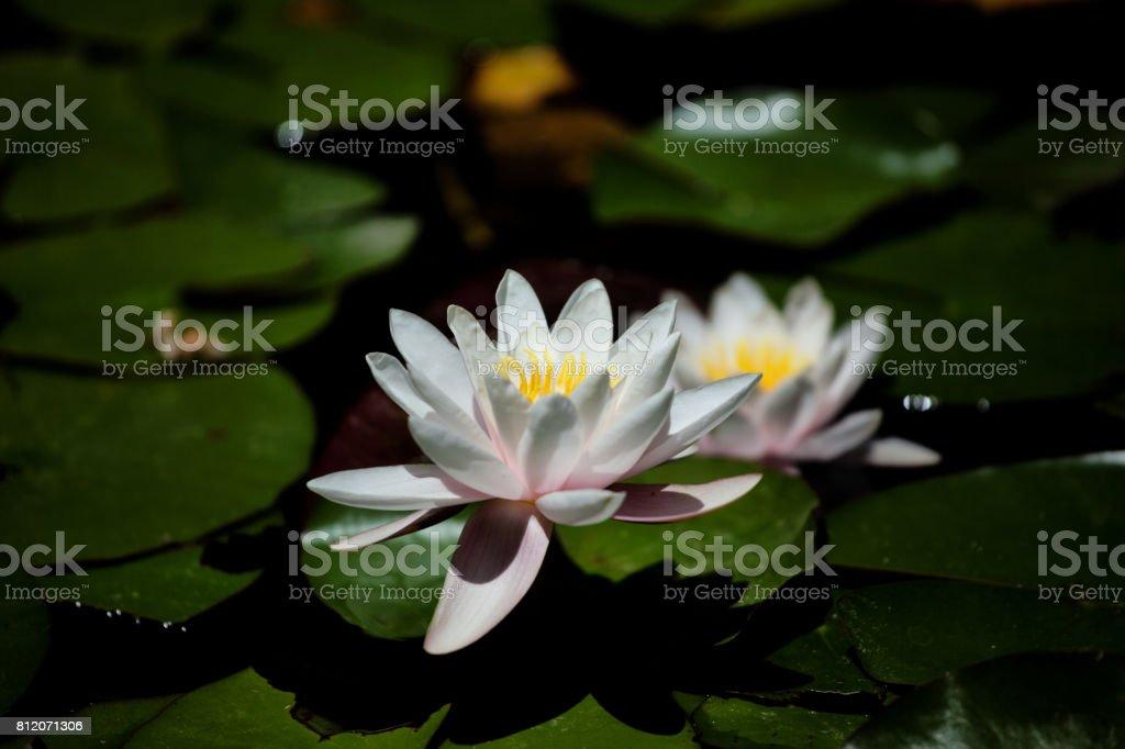 Lotus Water Lily stock photo