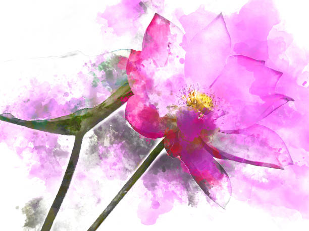 lotus aquarellmalerei, digitale illustration - lotus zeichnung stock-fotos und bilder