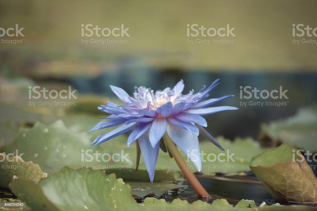 garten blumen lila, lotus seerose blume lila farbe natürlich schöne blumen im garten, Design ideen