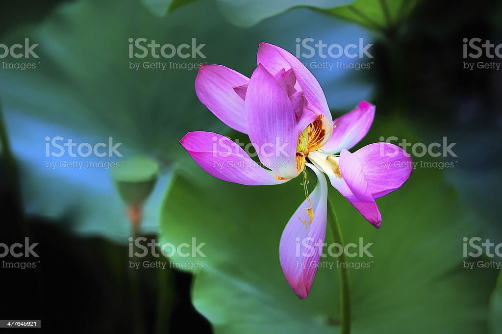 Lotus,Lotus flower, stock photo
