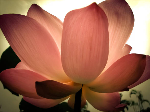 Lotus's falling petals zen nature background color black leaves design meditation nature photography.Alone and Silence. Concept lotus position stock pictures, royalty-free photos & images