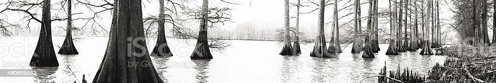 Louisiana Bald Cypress trees in swamp area stock photo