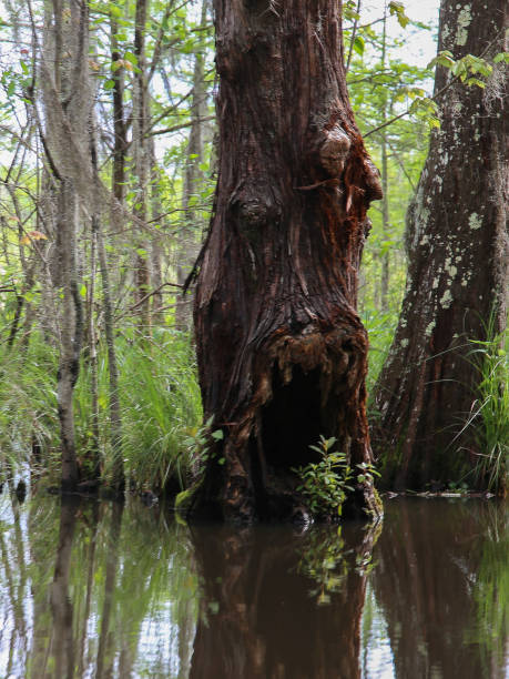 Louisiana Bayou Swamp Monster Cypress Gum Tree with Face stock photo