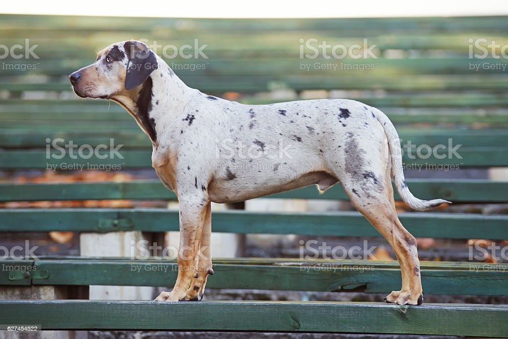 Louisiana Catahoula Leopard Dog Standing On A Green Wooden Bench