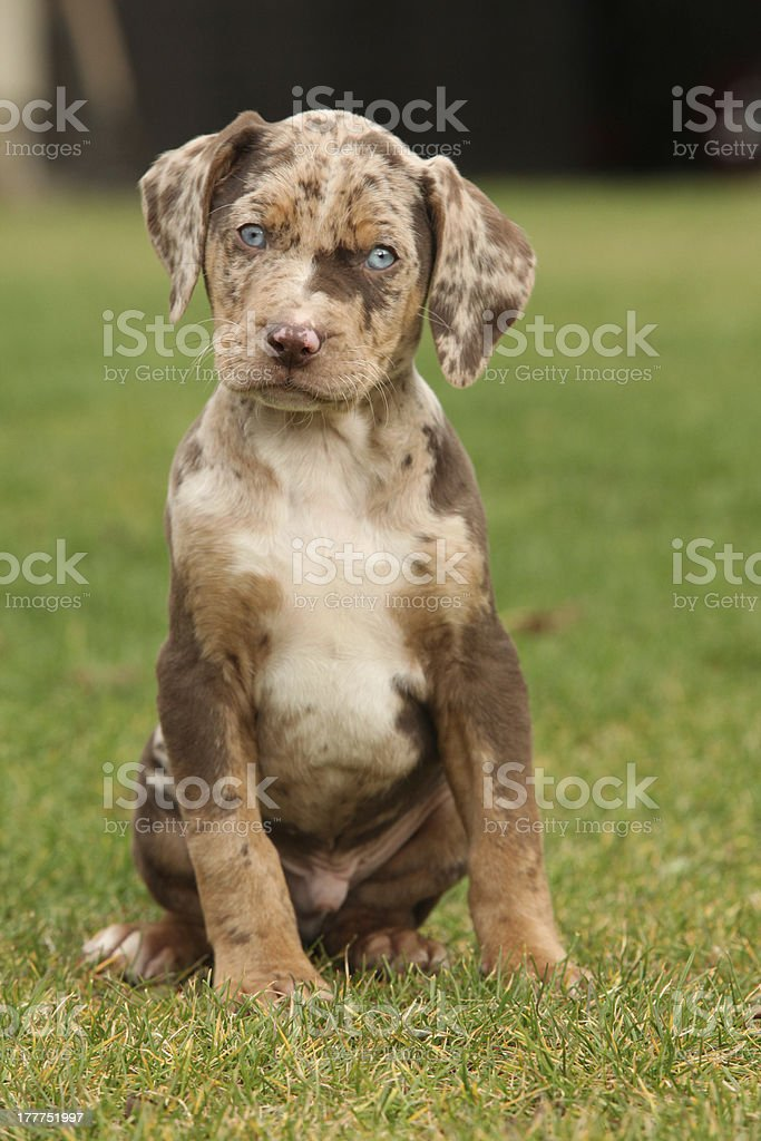 royalty free catahoula leopard dog pictures  images and stock photos