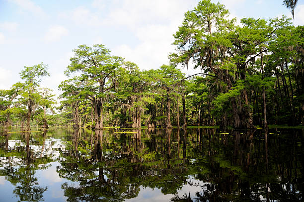 louisiana cypress reflections - bald cypress tree stockfoto's en -beelden