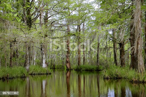 Louisiana Swamp Bayou Moss Covered Tupelo Gum Tree, Reflection in water