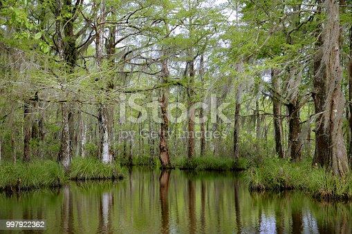 Louisiana Swamp Bayou Moss Covered Tupelo Gum Tree, Reflection in water