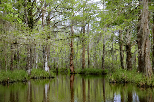 Louisiana Swamp Bayou Moss Covered Tupelo Gum, Cypress Trees, Reflection in water stock photo