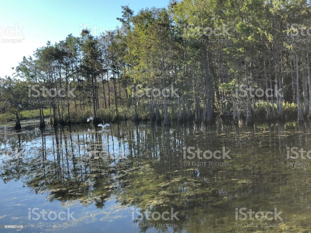 Louisiana swamp bird stock photo