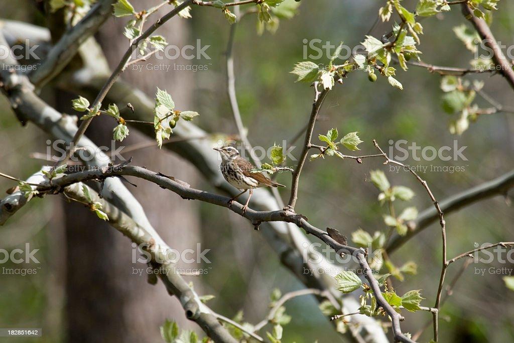 Louisiana Waterthrush (Seiurus motacilla) stock photo