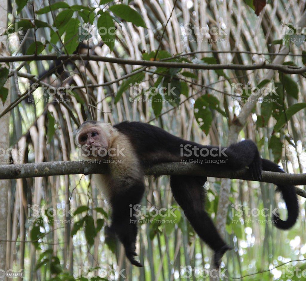 Lounging capuchin monkey stock photo