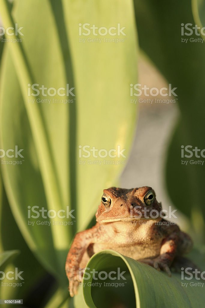 Lounging Toad royalty-free stock photo