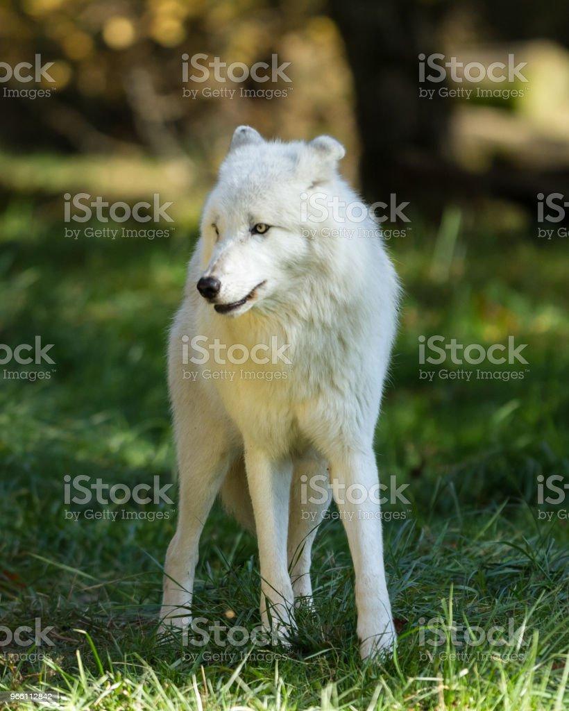 Луп Блан — Белый волк - Стоковые фото Мелвильский островной волк роялти-фри