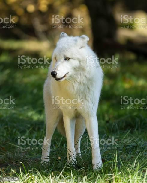 Луп Блан Белый Волк — стоковые фотографии и другие картинки Мелвильский островной волк