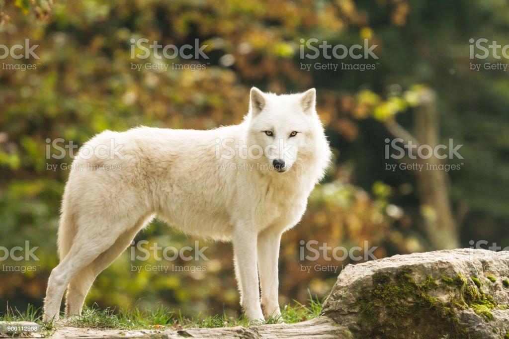 Loup Blanc - White wolf - Royalty-free A nevar Foto de stock