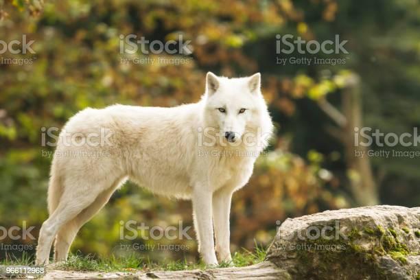 Loup Blanc White Wolf - Fotografias de stock e mais imagens de A nevar