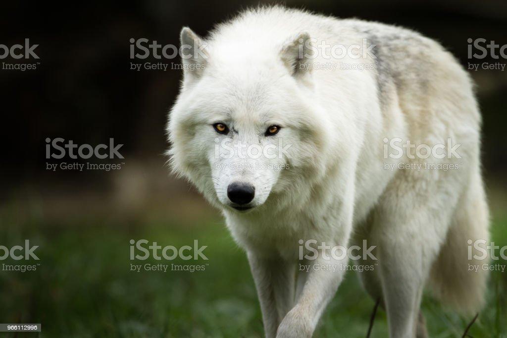 Loup Blanc - White wolf - Royalty-free Animal Stock Photo