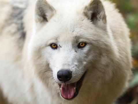 Loup Blanc Vita Vargen-foton och fler bilder på Arktis