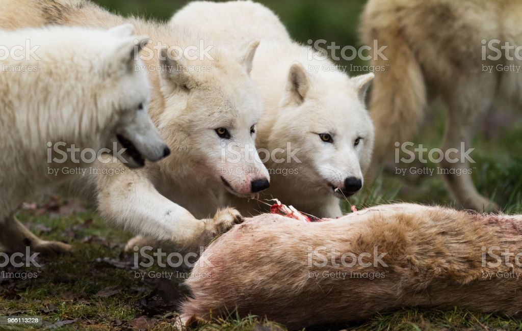 Loup Blanc - White wolf - Royalty-free Animal Stock Photo