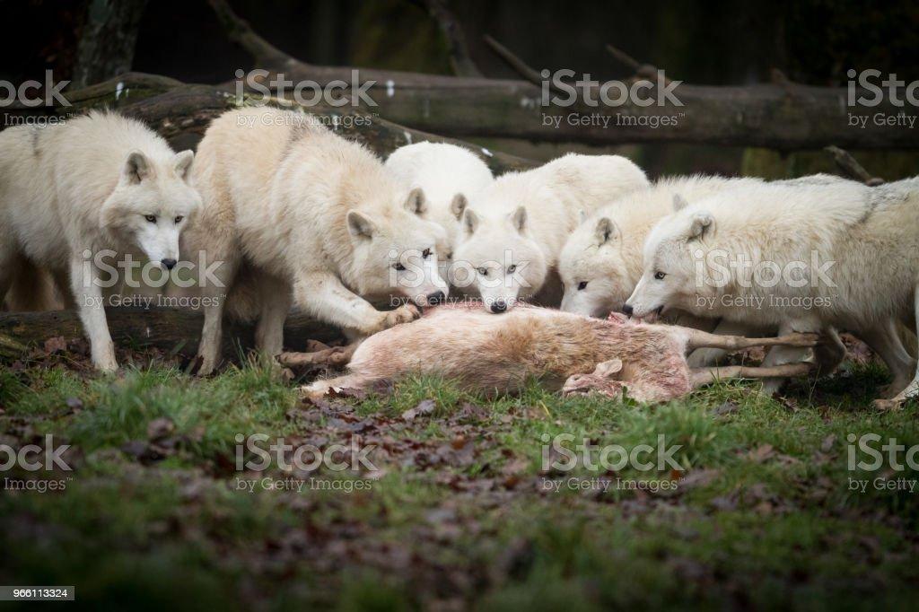 Loup Blanc - weißer wolf - Lizenzfrei Arktis Stock-Foto