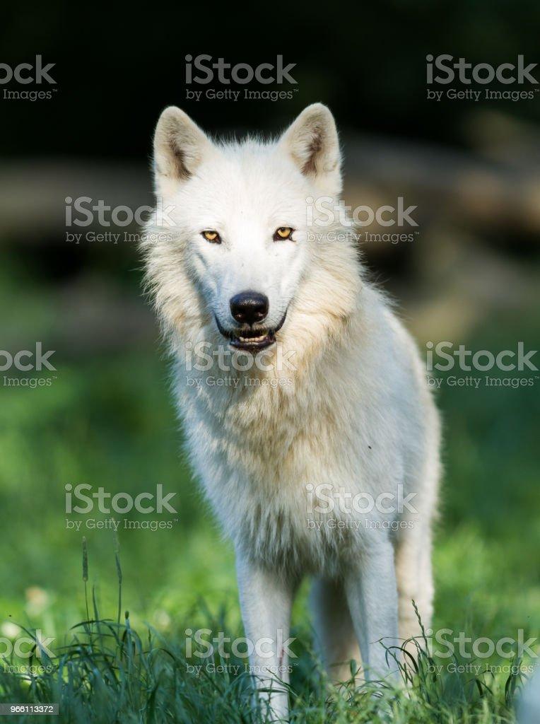 Loup Blanc - White wolf - Стоковые фото Арктика роялти-фри
