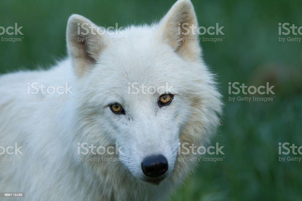 Loup Blanc - vita vargen - Royaltyfri Arktis Bildbanksbilder