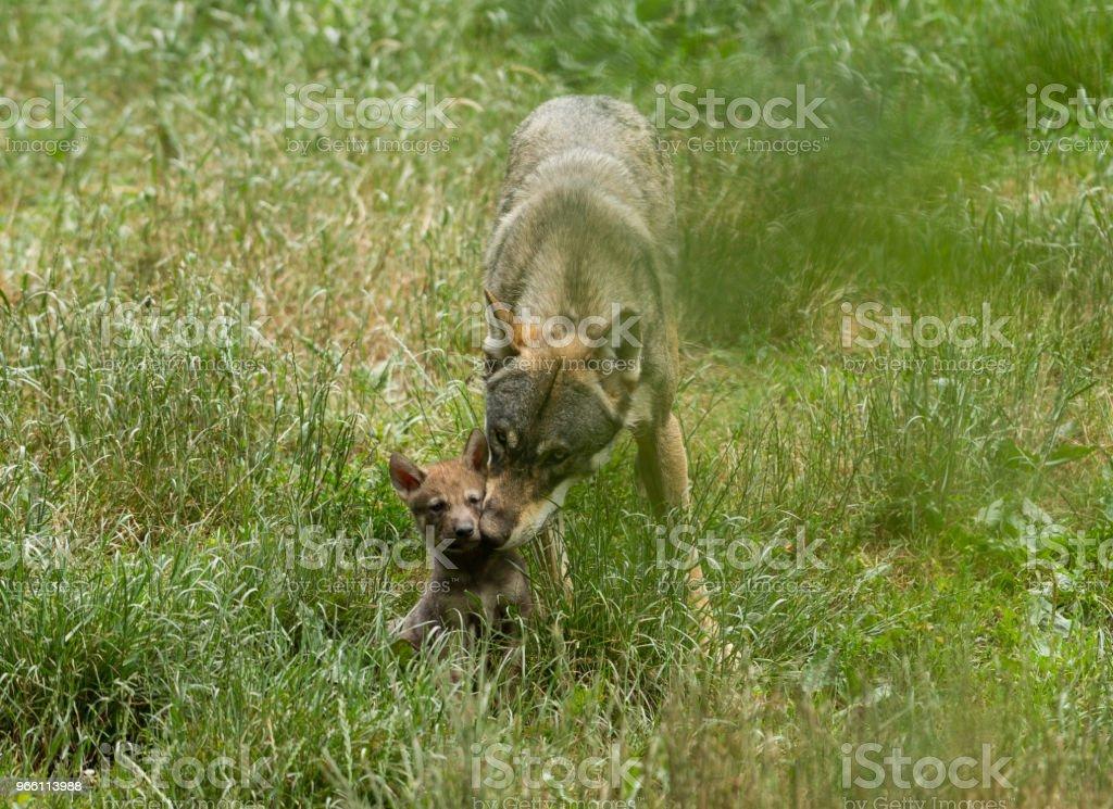 Loup gris - Grey wolf - Royalty-free Animais caçando Foto de stock