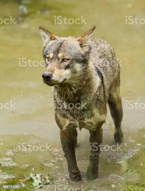 Loup Gris Серый Волк — стоковые фотографии и другие картинки Волк