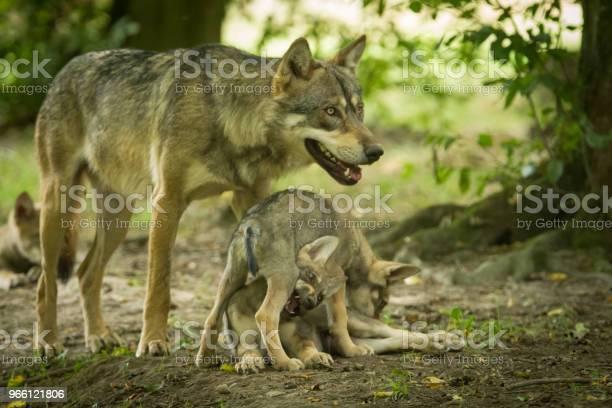 Loup Gris Grauwolf Stockfoto und mehr Bilder von Europäischer Wolf
