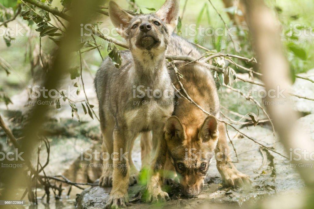 Loup Gris - Grauwolf - Lizenzfrei Europäischer Wolf Stock-Foto