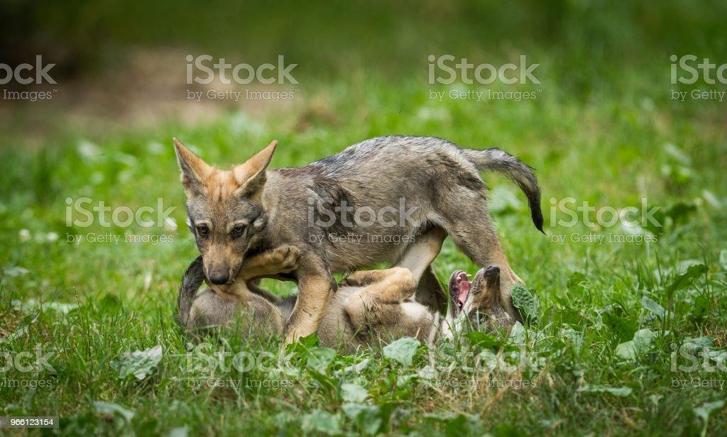 Loup gris - Серый волк - Стоковые фото Без людей роялти-фри