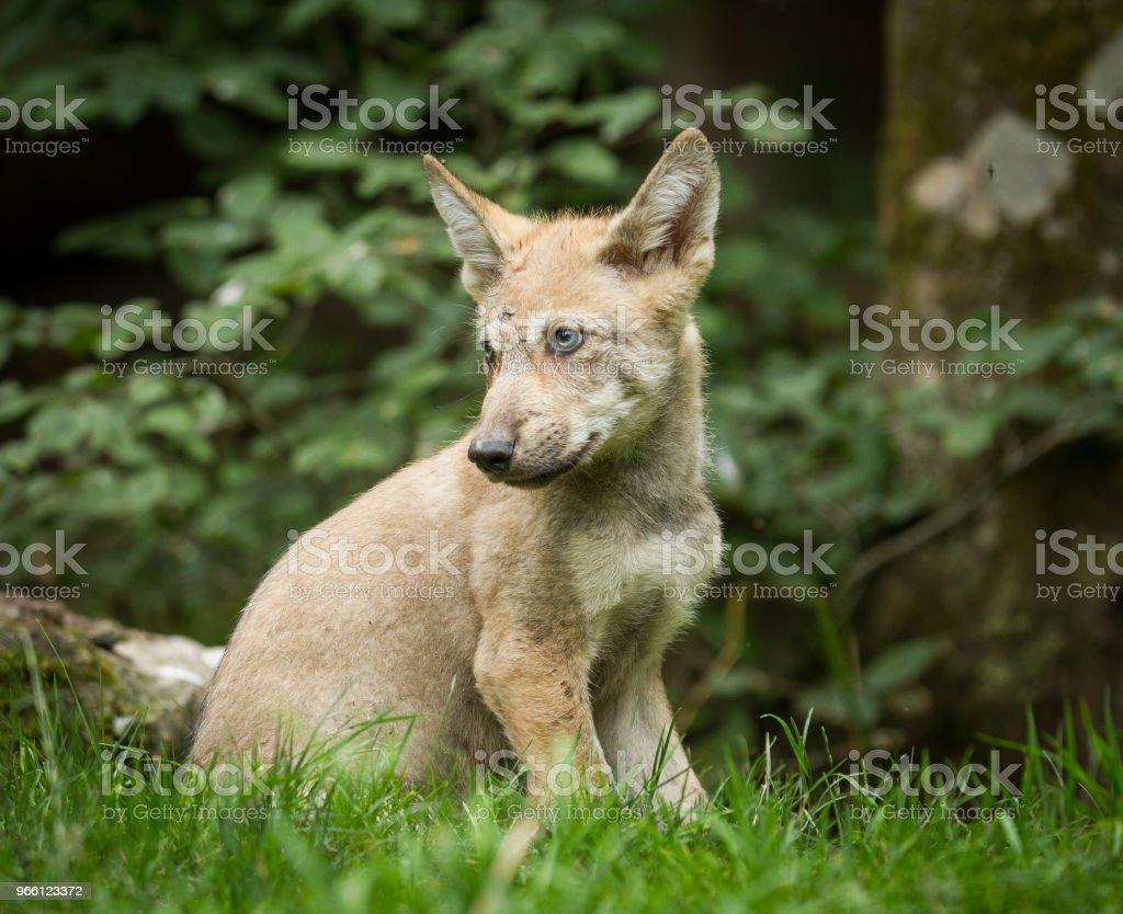 Loup gris - Grey wolf - Royalty-free Animal Stock Photo