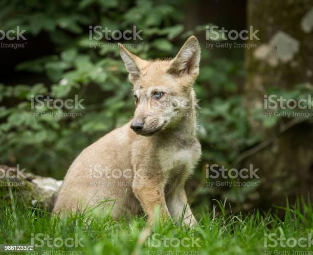 Loup Gris Grå Varg-foton och fler bilder på Djur