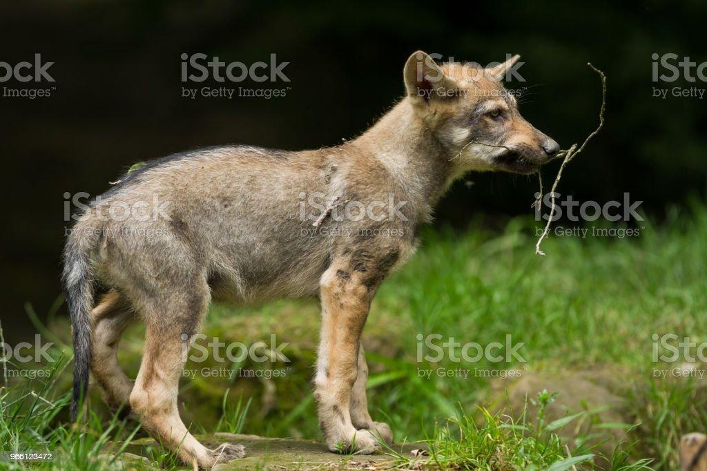 Loup gris - grijze wolf - Royalty-free Bont Stockfoto